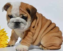 cute baby bulldog. Brilliant Cute Bulldogs Are Awesome 26 Adorably Cute Baby Bulldog Pictures  WILDLIFE  PLANET In H