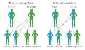 Resultado de imagen de Durante la reproducción sexual humana, el ADN de los progenitores se copia y se transmite en proporciones iguales