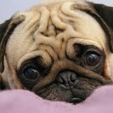 pug puppies ipad wallpaper. Modren Puppies Preview Wallpaper Pug Puppy Snout Eyes Lie On Pug Puppies Ipad Wallpaper WallpapersCraft