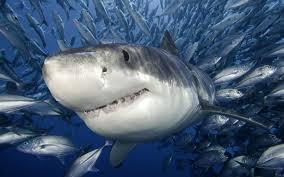 shark wallpaper hd. Brilliant Shark Wallpaper HD Shark Photos Email ThisBlogThis In Hd 1