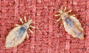 body louse and head louse pediculus spp