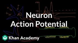 Neuron Action Potential Description Video Khan Academy