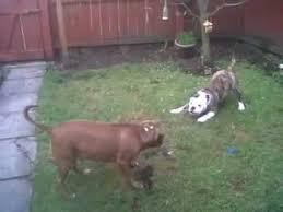 pitbull dog vs bulldog. Simple Dog With Pitbull Dog Vs Bulldog B