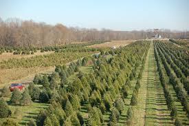 Replanting Cut Trees U2013 Can You Replant A Cut Christmas TreeChristmas Tree Cutting Nj