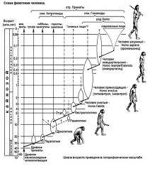 Реферат Эволюция человека  14