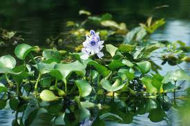 Eichhornia crassipes - Wikipedia