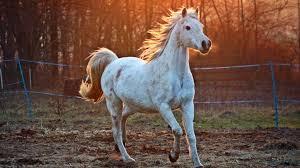 black arabian horse wallpaper. Simple Black White Arabian Horse On Black Wallpaper A