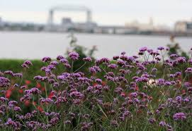 verbena bonariensis attracts pollinators the duluth s aerial lift bridge is part of the views from the garden
