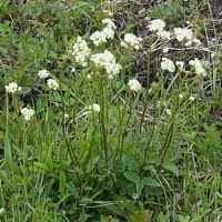 white geranium geranium richardsonii
