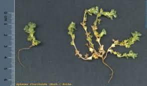 Aphanes floribunda (Murb.) Rothm. - Herbari Virtual del Mediterrani ...