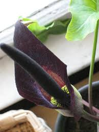 Image result for black arum lily plant images