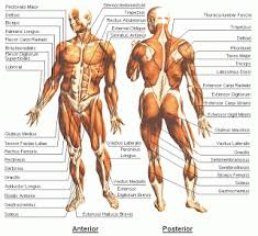 Muscle And Joints Of A Man Front And Back View Human