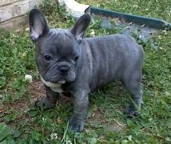 miniature blue french bulldog puppies for sale. Contemporary Blue All Photos And Content Of This Web Site Are Property ForeverYoung French  Bulldogs To Miniature Blue Bulldog Puppies For Sale E