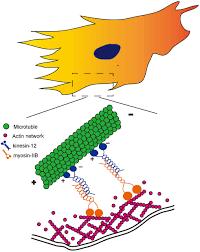 An Ii B B Depletion Of Kinesin 12 A Myosin Iib Interacting Protein