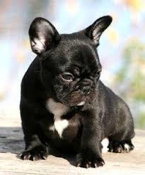 black french bulldog puppy.  French Black French Bulldog Puppies Puppy And P