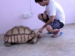 Feeding The Big African Spurred Tortoise