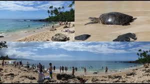Laniakea Beach Haleiwa Oahu Hawaii