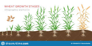 Wheat Growth Stages Chart Wheat Growth Stages From Seed To Ripe Plant Infographic