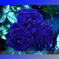 The Most Fragrant Roses For Your Garden  Gardens Bar And PerfumeFragrant Rose Plants