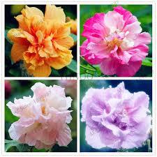 Hot Sale!<b>20PCS</b> Perennial Flowers bonsai Vary Colors <b>Dahlias</b> ...