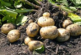 Болезни картофеля описание лечение профилактика видео Картофель