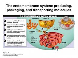 Endomembrane System Flow Chart 60 Bright The Endomembrane System Flow Chart