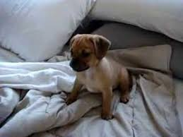baby puggles. Plain Baby Baby Puggle Puppy Mylo For Baby Puggles