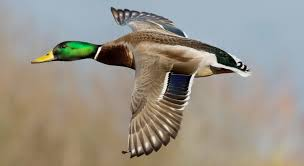 Early Season Duck Id