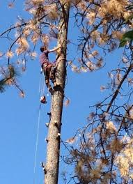 A climber cuts off all the dead branches before the dead Ponderosa pine is  felled.