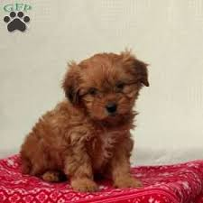 pippa sue 895 00 paradise pa shih poo puppy