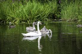 swans white young water birds family