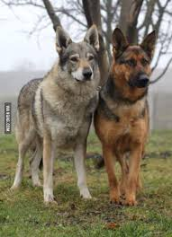 german shepherd coyote mix. Delighful Coyote Wolves In Both Shape And Markings Not To Forget German Shepherds Or  Other Herding Breeds Below Is A Shepherd Czech WolfDog Side By Side Intended Coyote Mix