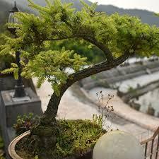 office bonsai. Perfect Office Office Bonsai Tree Office 20 Juniper Bonsai Tree Seeds For  R