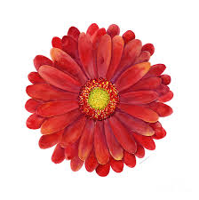 red painting red gerbera daisy by amy kirkpatrick