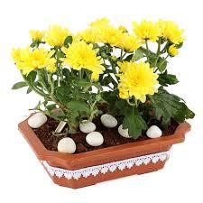 yellow guldawri plant