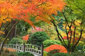 wooden bridge and maple trees in autumn color at portland japanese garden