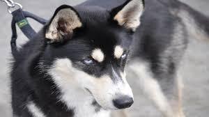 german shepherd husky mix full grown. Brilliant German Siberian Husky German Shepherd Mix Puppies To Full Grown Y