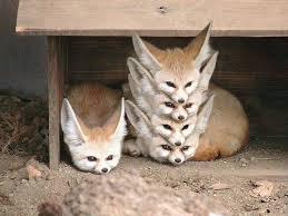 baby fennec fox. Simple Fennec Fennec Fox Stack Beautiful Creatures Animals Beautiful Cute Baby Animals  Funny Throughout Fennec Fox H