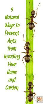 how to get rid of ants 9 natural ways