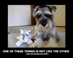 dog #puppy #dogmemes #memes #meme #schnauzer #minischnauzer ... via Relatably.com