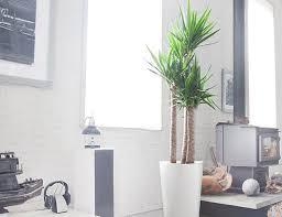 office indoor plants. Yucca Plant Office Indoor Plants