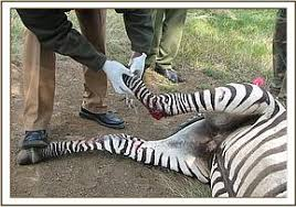 Image result for zebra wound fracture