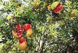 378 Best Board20 Images On Pinterest  Fruit Trees Exotic Fruit Iranian Fruit Trees