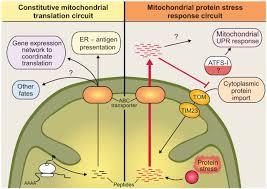 mitochondria protein diagram mitochondria database wiring why translation counts for mitochondria retrograde signalling