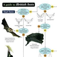 Bat Species Chart Fsc British Bats Identification Chart Peoples Trust For