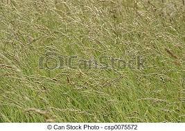 wild grass texture. Wild Grass Stock Photo Texture