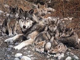 wolf puppies wallpaper. Simple Wallpaper Wolf With Cubs Intended Puppies Wallpaper E