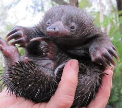 echidna puggle full grown. Wonderful Grown No Automatic Alt Text Available In Echidna Puggle Full Grown A