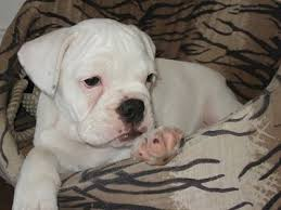 a white miniature australian bulldog puppy is laying in a tan dog bed