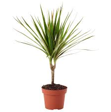 Dracaena Potted Plant